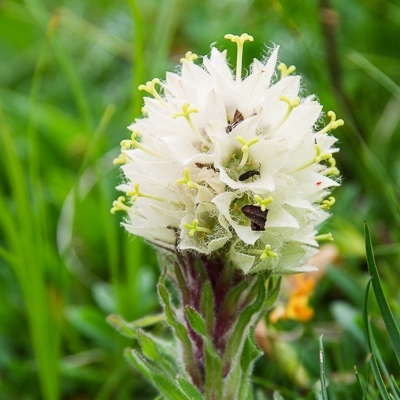 Alpenwanderungen in Italien: Straußglockenblume